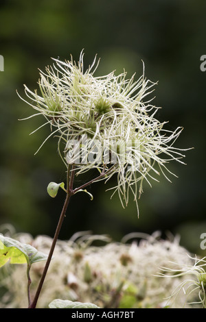 Traveller's Joy (Old Man's Beard) Clematis vitalba seed head @ Potteric Carr Nature Reserve South Yokshire - Stock Photo