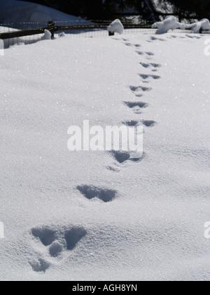 Animal tracks in fresh snow - Stock Photo