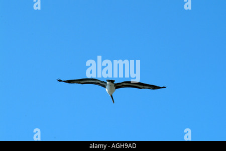 Captiva Island SW Florida USA birding Adult Brown Pelican in flight - Stock Photo