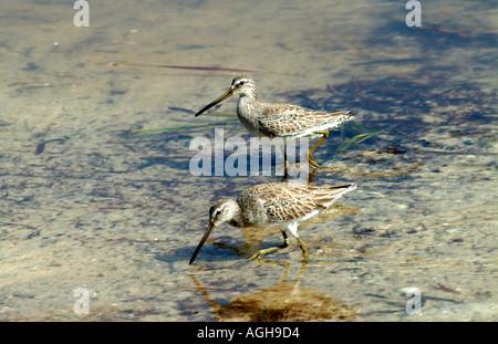 Captiva Island SW Florida USA birding Sandpipers feeding on shoreline short billed dowitcher - Stock Photo