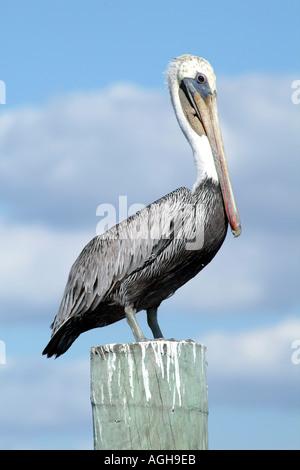 Captiva Island SW Florida USA birding Brown Pelican - Stock Photo