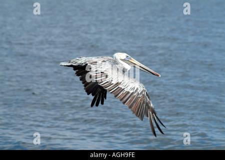 Captiva Island SW Florida USA birding Brown Pelican in flight - Stock Photo
