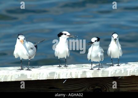 Captiva Island SW Florida USA birding 3 juvenile Sandwich Terns and Royal Tern - Stock Photo