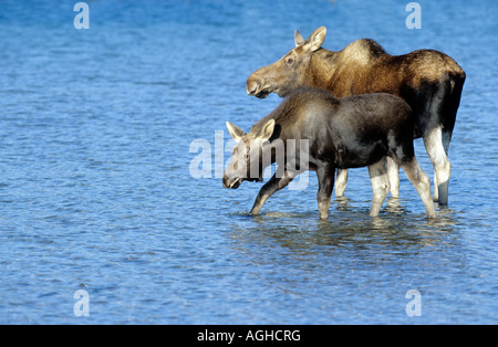 Elch Alces alces Elchkuh mit Kalb female with calf walking in shallow water - Stock Photo