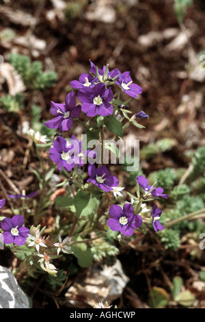 large venus's-looking-glass (Legousia speculum-veneris), blooming plant, Greece, Falakron - Stock Photo