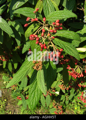 leatherleaf viburnum (Viburnum rhytidophyllum), fruiting - Stock Photo