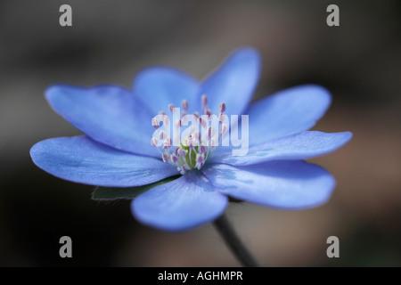 Leberbluemchen Hepatica nobilis Blueten Common Hepatica Hepatica nobilis flowers - Stock Photo