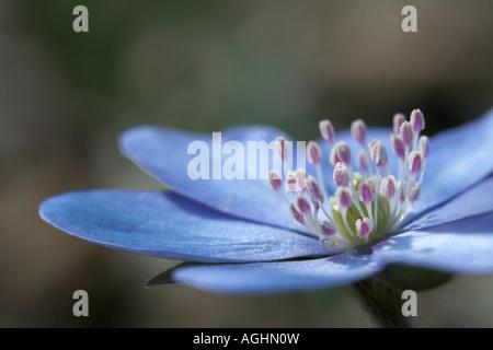 Leberbluemchen Hepatica nobilis Blueten Common Hepatica flowers - Stock Photo