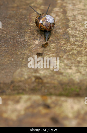A common garden snail (Helix aspersa) & its trail on a patio - Stock Photo