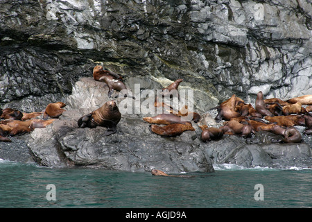 Stellar Sea Lions eumetopias jubatus on the beach in the Prince William sound Alaska USA - Stock Photo