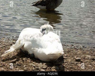 A Mute Swan with a damaged wing by a lake. - Stock Photo