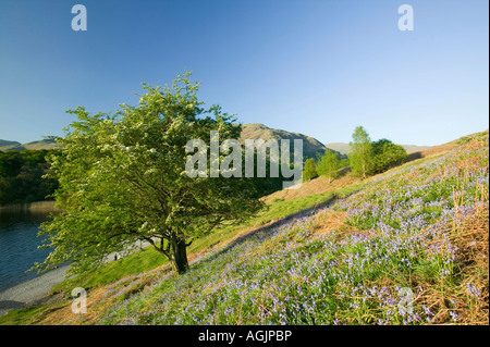 Bluebells and a Hawthorn tree on loughrigg Terrace above Grasmere, Lake District, UK - Stock Photo