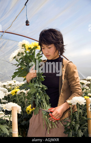 Asian woman picking Chrysanthemum, blooms, flowers, & crops growing in Polythene polytunnels or Greenhouse, Chiang - Stock Photo