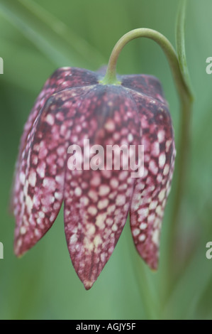 fritillaria meleagris, Bell-shaped checkerboard patterned flower in a springtime Oregon garden - Stock Photo