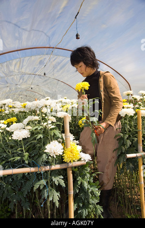 Asian woman picking Chrysanthemum, blooms, flowers, & crops growing in semi-circular Polythene polytunnels or Greenhouse, - Stock Photo