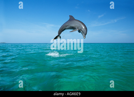 Bottle nosed Dolphin jumping Honduras Central America - Stock Photo