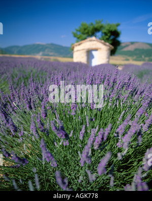 Stone hut in lavender field Provence France - Stock Photo