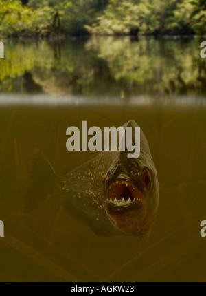 Aggressive piranha in lake - Stock Photo