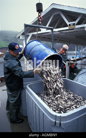 Canada, Saint John, Fishermen collecting fish in container - Stock Photo