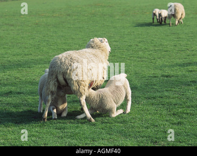 Sheep with Two suckling Lambs Others in Background - Stock Photo