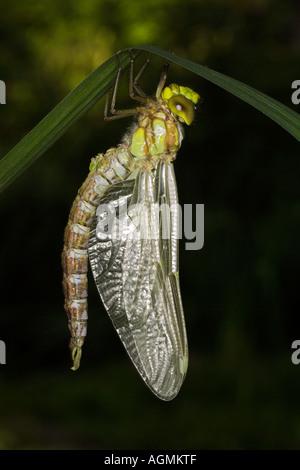 Schlupf der Blaugruenen Mosaikjungfer Aeshna cyanea hatch out of a dragonfly Aeshna cyanea - Stock Photo