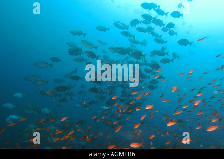 Hundreds of Lowfin drummers Kyphosus vaigiensis and scalefin anthias Pseudanthias squamipinnis Puerto Galera Philippines - Stock Photo