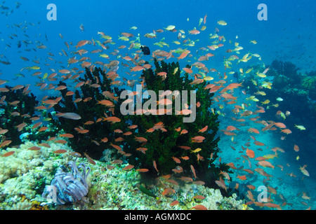 Thousands of anthias Pseudanthias spp hover over green coral Tubastrea micrantha Puerto Galera Mindoro Philippines - Stock Photo