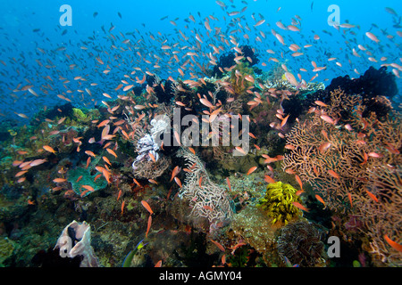 Thousands of scalefin anthias Pseudanthias squamipinnis hovering over sea fans and crinoids Puerto Galera Philippines - Stock Photo