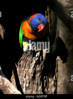 Red collared lorikeet Trichoglossus Rubritorquis Northern Territory Australia - Stock Photo