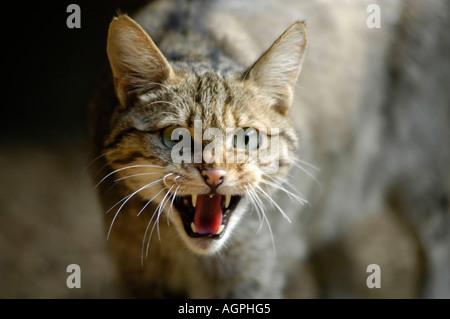 Common Wild Cat / European Wild Cat - Stock Photo