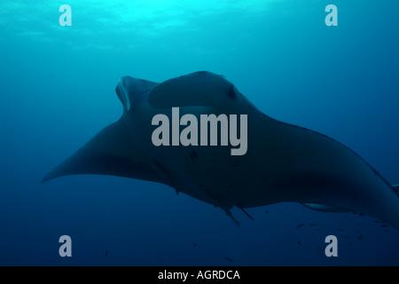 Maldives north male atoll lankan a giant manta ray manta birostris around the cleaning station named manta point - Stock Photo