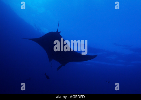 Maldives north male atoll lankan a giant manta ray manta birostris around the cleaning station named manta point - Stock Photo