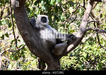 India Rishikesh Rajaji national park hanuman langur male langur resting in tree 2007 - Stock Photo