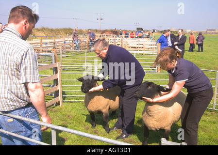 dh Annual Show SHAPINSAY ORKNEY Judge judging pair of Suffolk gimmer sheep at agricultural show ram people - Stock Photo