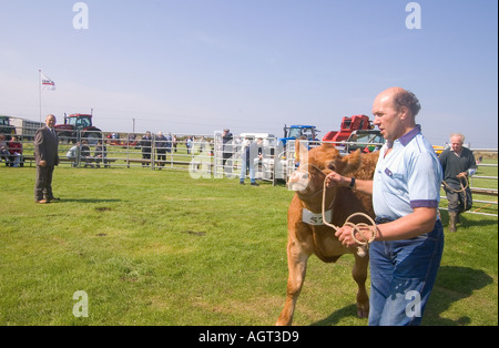 dh Annual Cattle Show SHAPINSAY ORKNEY Judge judging cross bred steer beef cows at agricultural show - Stock Photo