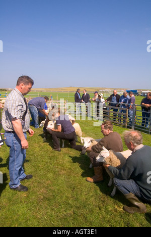dh Annual Agricultural  Show SHAPINSAY ORKNEY Judge judging best pair of lambs at agricultural show - Stock Photo