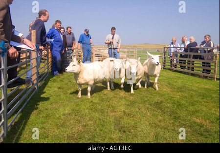 dh Annual Show SHAPINSAY ORKNEY Judge judging Ewe sheep at agricultural show - Stock Photo