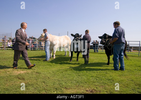 dh Annual Cattle Show SHAPINSAY ORKNEY Beef cows Charolais and cross bred Heifers in agricultural show ring - Stock Photo