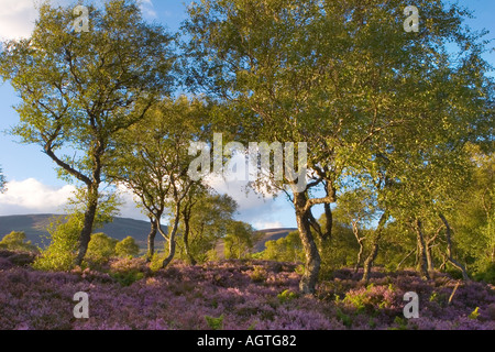 Silver Birch trees and Scottish ling Heather landscape on moors Cairngorms National Park Braemar, Scotland. - Stock Photo