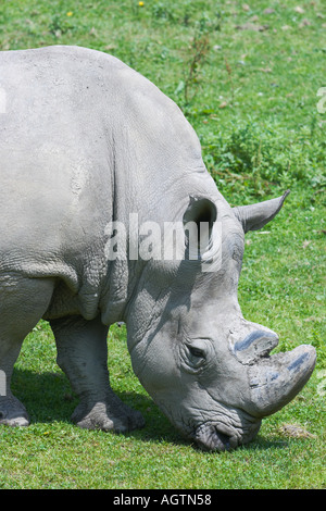 Portrait of a white rhinoceros grazing on grass in Hellbrunn zoo. Scientific name: Ceratotherium simum. Hellbrunn, - Stock Photo