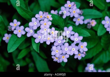 Forgetmenot - Stock Photo