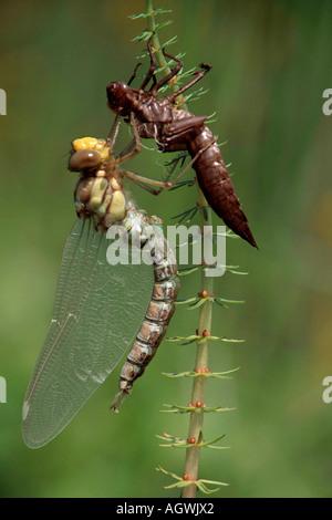 Dragonfly / Blaugruene Mosaikjungfer - Stock Photo
