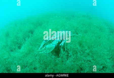 Long-clawed Crayfish - Stock Photo