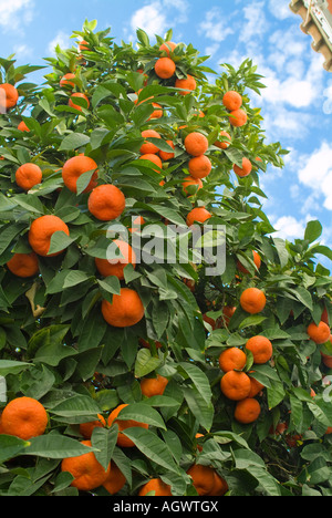 Colorful orange tree against blue sky - Stock Photo
