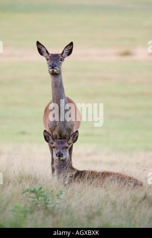 Deers Richmond Park London UK - Stock Photo