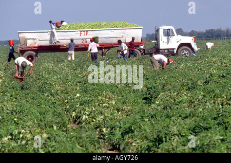 Mexican migrant worker picks tomatoes Ruskin Florida - Stock Photo