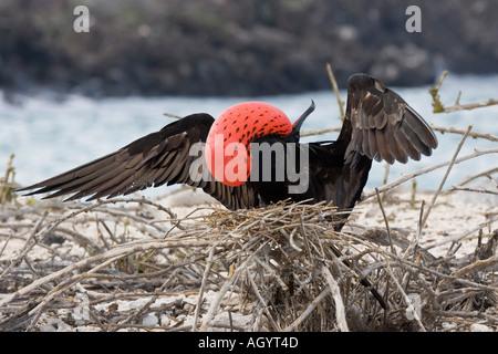 Great Frigatebird Fregata minor ridgwayi displayingMale Galapagos genovesa island - Stock Photo