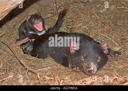 A female Tasmanian devil Sarcophilus Harrisii in a nest with two young pups - Stock Photo