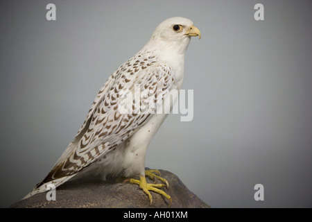 Gyrfalcon - Stock Photo