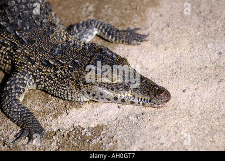 Cuban crocodile Crocodylus rhombifer.  Eskilstuna Zoo Sweden - Stock Photo